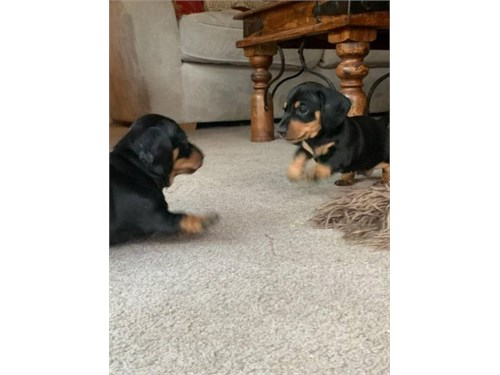 dachshund 864-392-4183