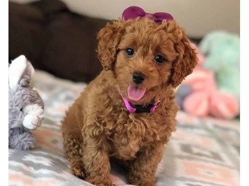 Curely Mini Goldendoodle