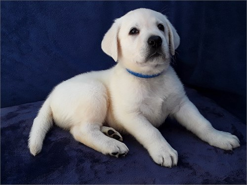 AKC White Lab Puppies