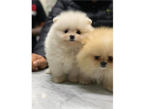 Cute Pomeranian pups
