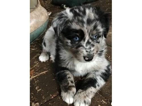 Charming Aussie Pups