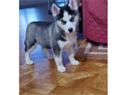 Siberian Husky Boy/Girl