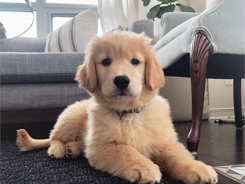 Beautiful golden pups
