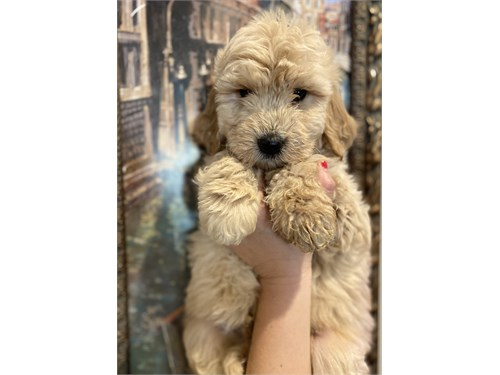 Goldendoodle F1 puppies
