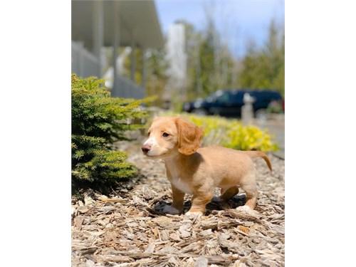 reg miniature dachshund