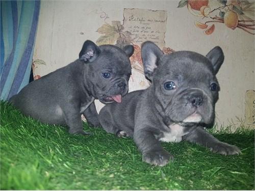 Blue Akc Frenchie Babys