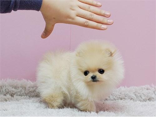 Active P0meranian Pups