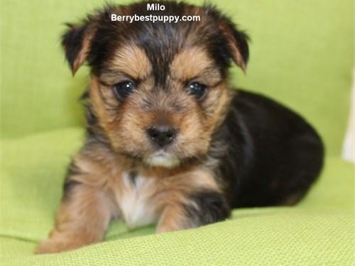 Yorkie Puppy - male