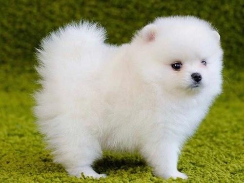 brave Pomera-nian pups