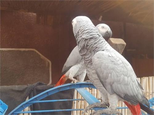 L3s African Grey parrots