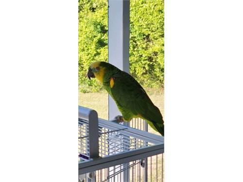Blue Front Amazon Parrots