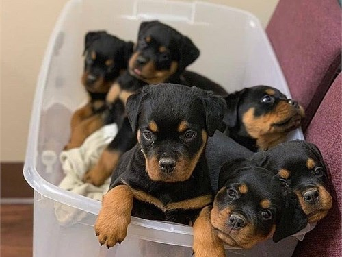 Rottweiler Boys and girls