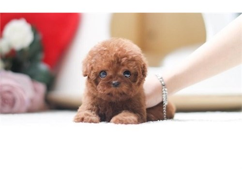 Healthy Toy Poodle puppie