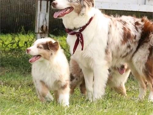 Australian Shepherd puppi