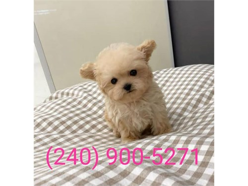 Great toy poodle puppies