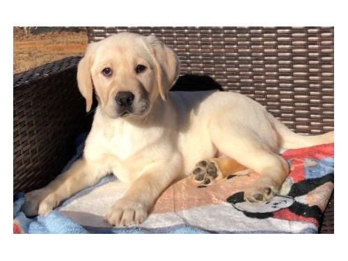 Kc Labrador Puppies