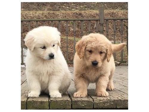 Fawn Golden Retriever pup