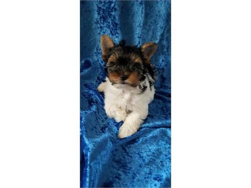 Yorkie Puppies Adoption