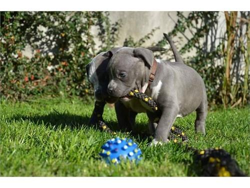 Gotti bloodline pitbull