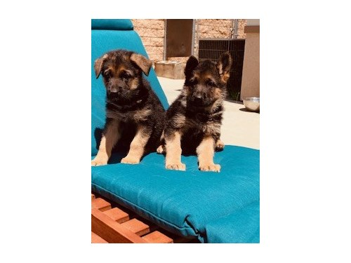 German Shepherd pups AKC