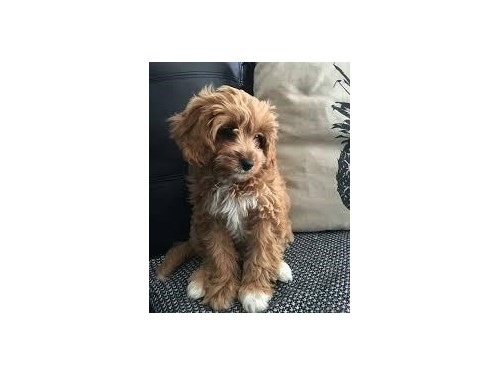 Cute maltipoo available
