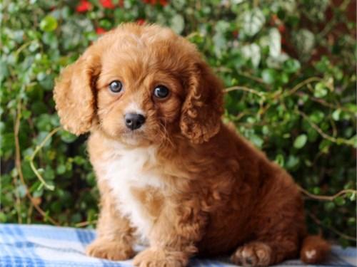 yoyo cavapoo lovely cuty