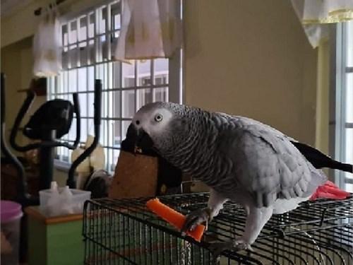 African grey parrots pair