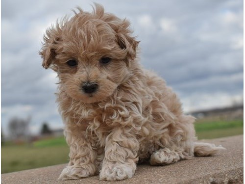 Maltipoo Puppy ready now