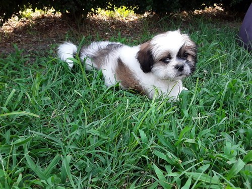 adaptive Shih-Tzu puppies