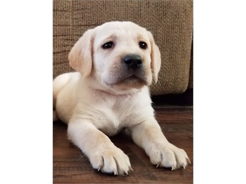 WHITE/CREAM LAB PUPPIES