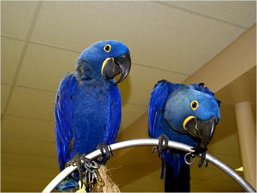 Pair Hyacinth Macaw