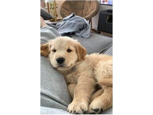 Golden puppies 4 adoption