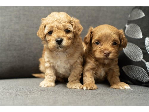 Beautiful Maltipoo Pupies