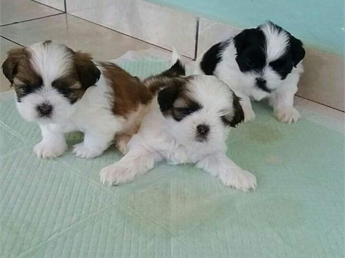 Healthy Shih Tzu Puppies