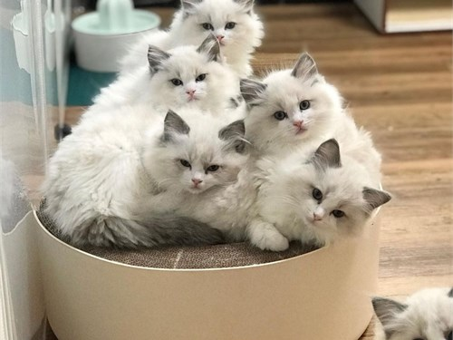 Adorable Ragdoll cats