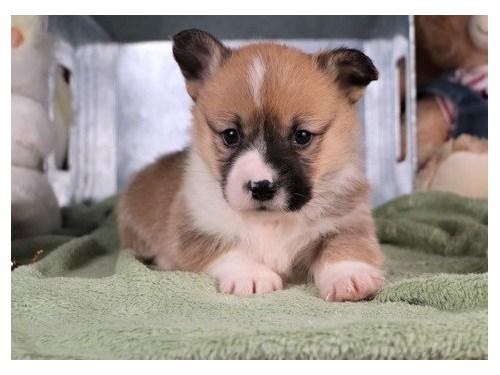 Corgi puppies up for adop