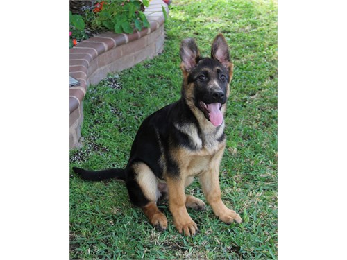 AKC GERMAN SHEPHERD PUPPY