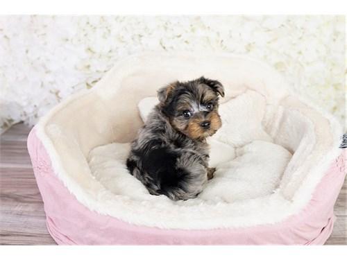 Parti Yorkshire puppy