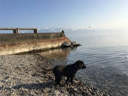 Labrador Hybrid Ret. Pup