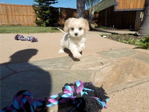 Female Cavachon Puppy!!!