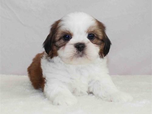 Beautiful Shih-tzu pups