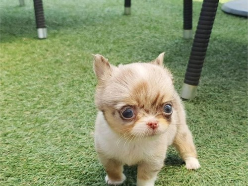 Mini Chihuahua puppies