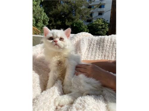 Persian Kitten_green Eyes