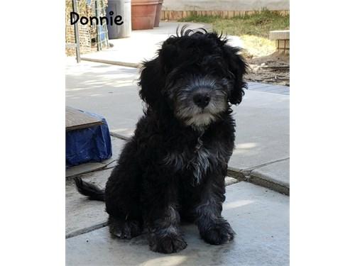 Mini Aussiedoodle Donnie