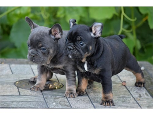 French Bulldog puppies n