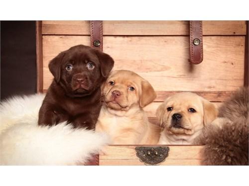 cute la.br.ador pupps