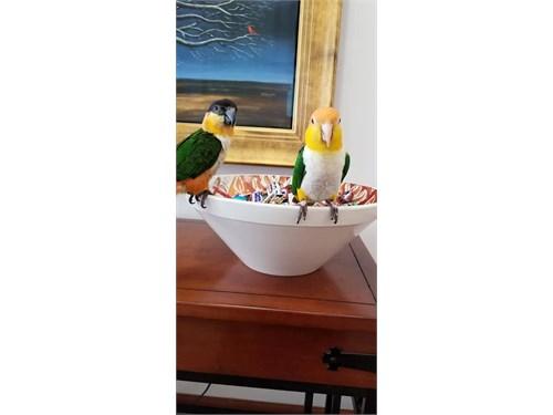 Caiques Parrots