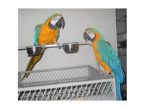 Beautiful Macaws in need