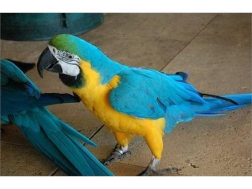 Brave Macaw parrots