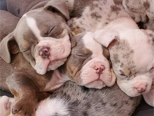 Tri-Color Bulldogs